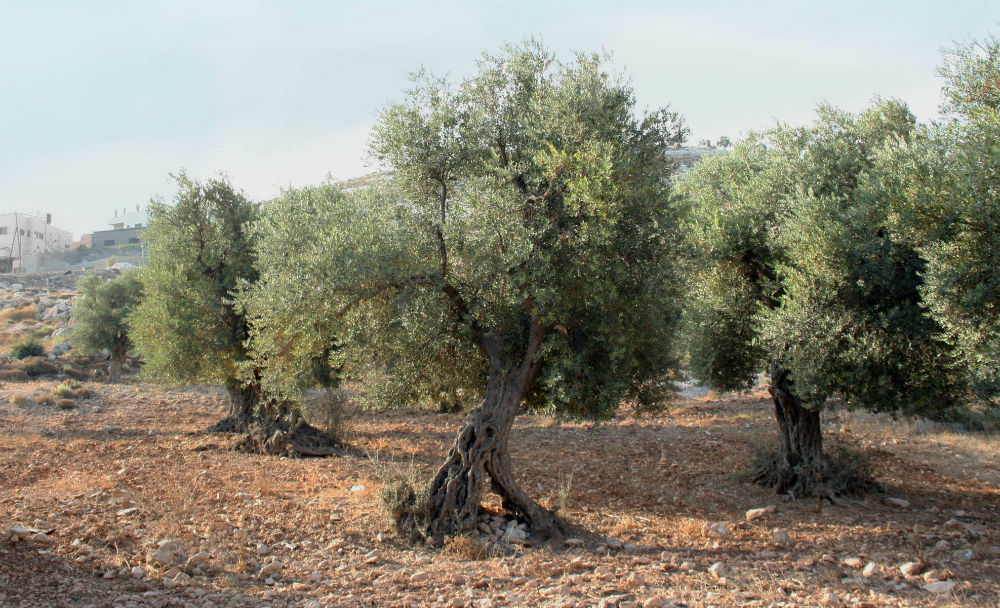 New Olive Picking Practices Revive Azraq's Local Farming Community